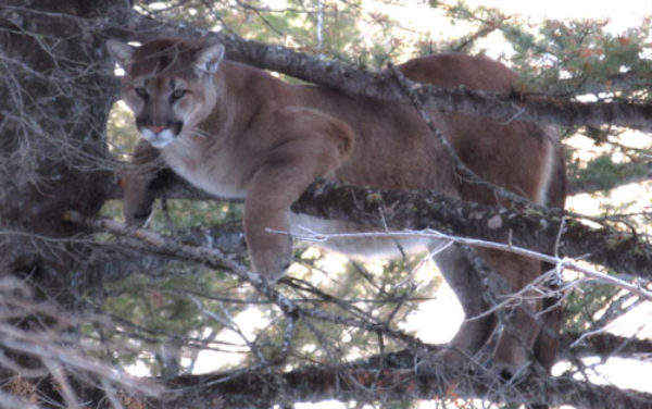 Hammer 'Em Outfitters Montana Hunting - Mountain Lion Hunt