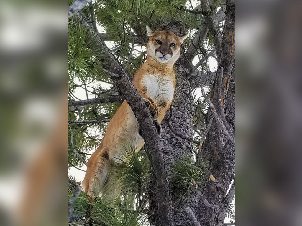 Hammer 'Em Outfitters Montana Hunting - 2019 Mountain Lion 1