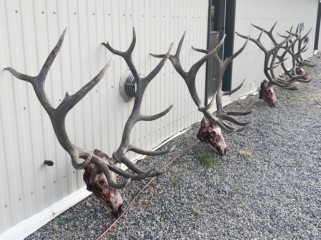 Hammer 'Em Outfitters Montana Hunting - 2020 Elk Horns 2